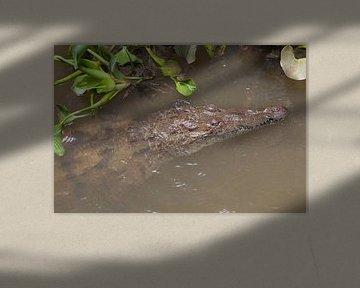 Krokodil im Black River (Jamaika) von t.ART