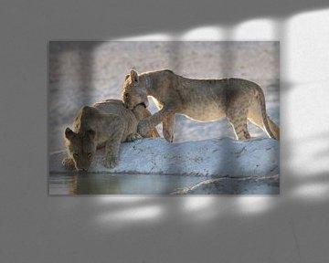 Junge Löwen am Wasserloch Etosha von Petervanderlecq