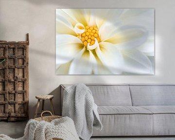 Witte dahlia bloem van Tijmen Hobbel