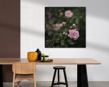 sanfte Rosen von Steffi Hommel