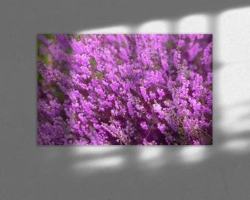 Heideblüte von BVpix