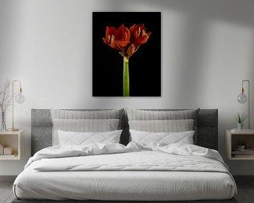 Rote Amaryllis am Stamm von Karin aan de muur