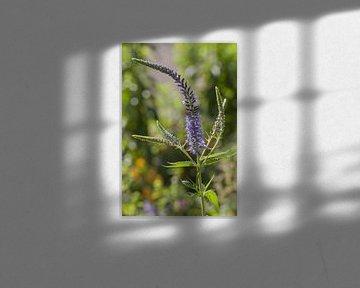 Lange Ehrenauszeichnung, Veronica longifolia von Martin Stevens