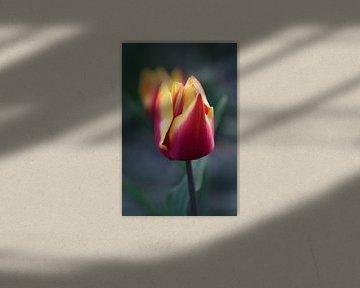 Rot-gelbe Tulpe in Nahaufnahme von John Leeninga