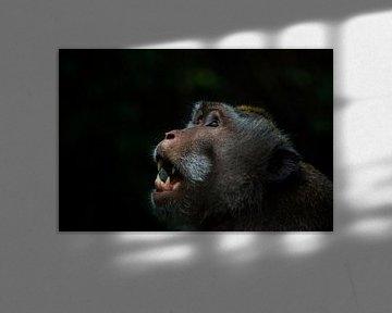 Balinesischer Langschwanzaffe lässt seine Zähne von Hugo Braun