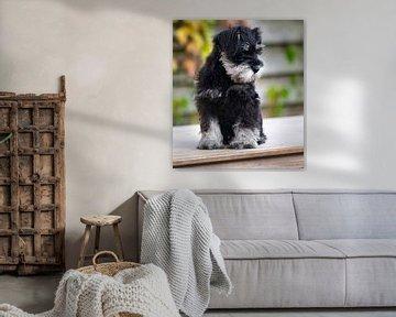 Grijs met zwarte kleur Schnauzer pup buiten zittend op een tafel van JM de Jong-Jansen