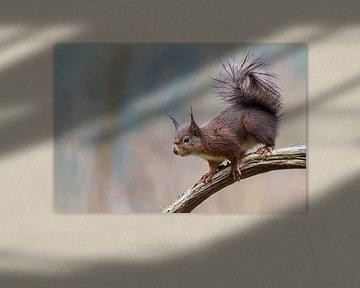 Eichhörnchen von Martin van der Kruijk