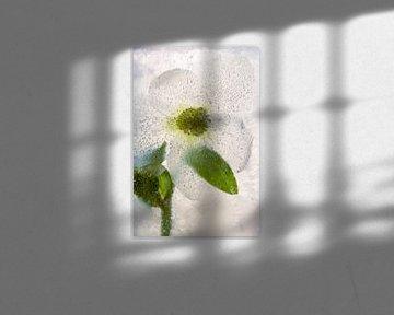 Weiße Christrose in Eis 2-2 von Marc Heiligenstein