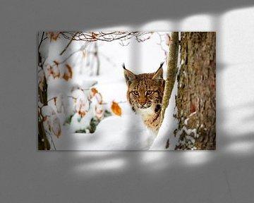 Lynx (Lynx lynx) in de winter van Dirk Rüter