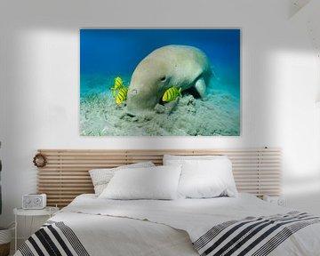 Ein Dugong  weidet im Seegras begleitet von Gold-Makrele von Norbert Probst