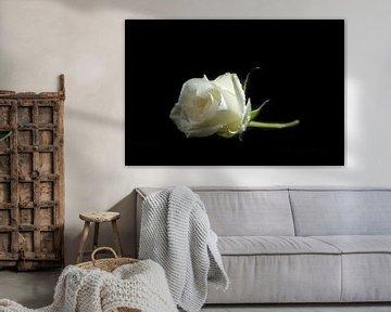 rose von Beernt Sietsma