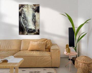 Curious Grey And White Shaggy Cow van Urban Photo Lab