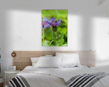Flockenblume von BVpix