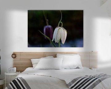 Weiße Schachbrettblume mit Tau Tropfen von Björn Knauf