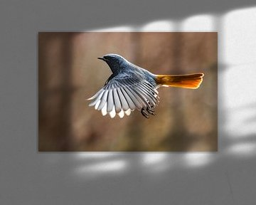 Vliegende Zwarte Roodstaart  (Phoenicurus ochruros gibraltariensis) van Beschermingswerk voor aan uw muur