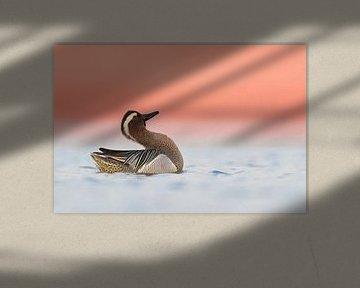Baltsende Zomertaling (Anas querquedula)