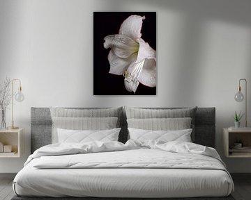 Weiße Amaryllis von Renate Mager