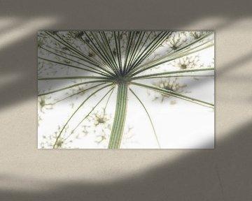 Abstracte Heracleum van ElkeS Fotografie