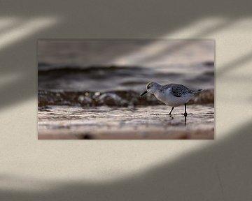 Drieteenstrandloper tijdens het gouden uur aan het strand
