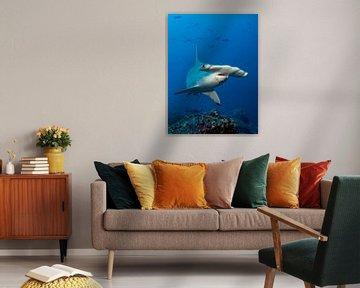 Requin-marteau festonné sur Norbert Probst