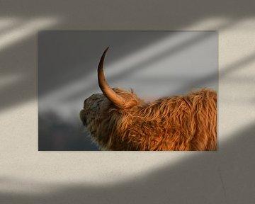 Schotse Hooglander zijkant met hoorn van Sascha van Dam