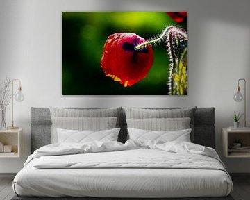 Roter Mohn, Seiten- und Rückansicht, gegen grünen Bokeh-Hintergrund von Anne Ponsen