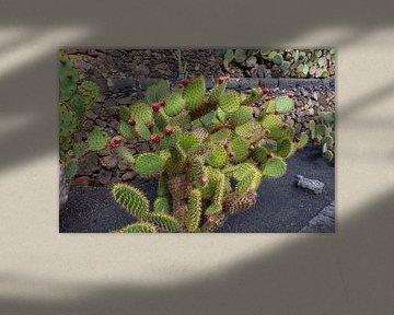 Feigenkaktus (Opuntia) mit roten Früchten auf der Kanareninsel Lanzarote von Reiner Conrad