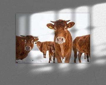 Koeien in besneeuwd weiland