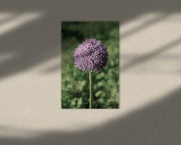 Allium von Thomas Jäger