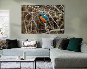 Eisvogel in den Weerribben jäten von Merijn Loch