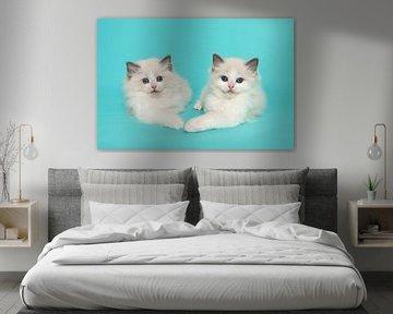 Zwei ragdoll Kätzchen zusammen auf einem blauen Hintergrund von Elles Rijsdijk