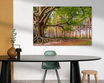 Een karakteristieke beukenboom in Bakkeveen. van Ron ter Burg