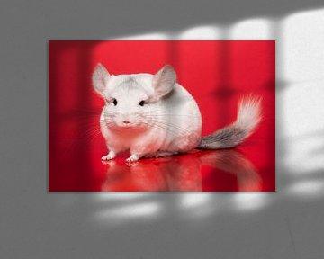 Schöne weiße Chinchilla auf einem roten Hintergrund von Elles Rijsdijk
