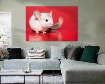 Niedliches weißes Chinchilla auf rotem Hintergrund von Elles Rijsdijk
