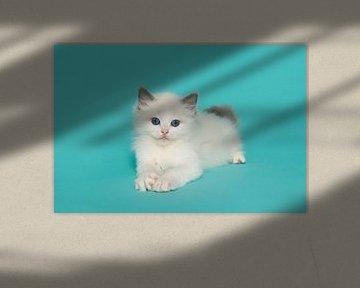 Niedliche ragdoll Kätzchen mit blauen Augen auf einem blauen Hintergrund von Elles Rijsdijk