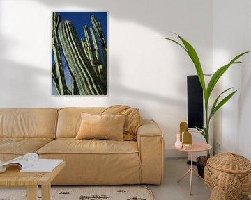 Säulenkaktus cereus, Kakteen. von Iris Heuer