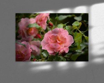Rosa Rosenblüten mit Regentropfen von Iris Heuer