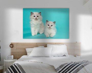 Zwei ragdoll Kätzchen gegen einen türkisblauen Hintergrund von Elles Rijsdijk