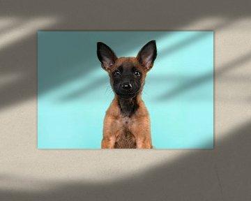 Porträt eines Malinois-Schäferhund-Welpen vor einem blauen Hintergrund von Elles Rijsdijk
