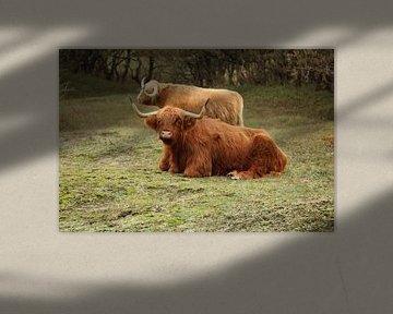 Schottischer Highlander von Jayne Wilby