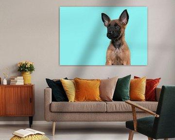 Porträt eines Malinois-Schäferhundwelpen vor einem türkisblauen Hintergrund von Elles Rijsdijk
