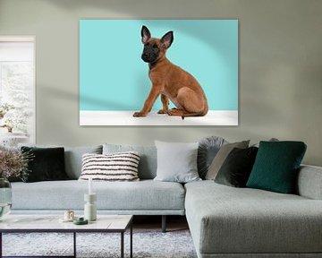 Malinois-Schäferhund-Welpe sitzt auf einem Puff vor einem blauen Hintergrund von Elles Rijsdijk
