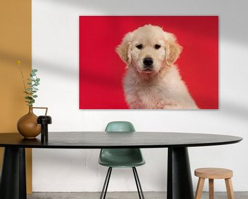 Portrait of a cute golden retriever puppy looking at the camera on a red background van Elles Rijsdijk