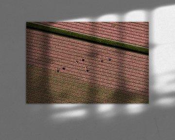 Luchtfoto seizoenswerkers in roze bollenveld van aerovista luchtfotografie