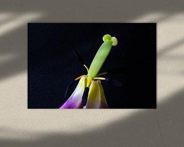 Makro-Aufnahme einer Effloreszenz-Tulpe vor schwarzem Hintergrund von Anne Ponsen