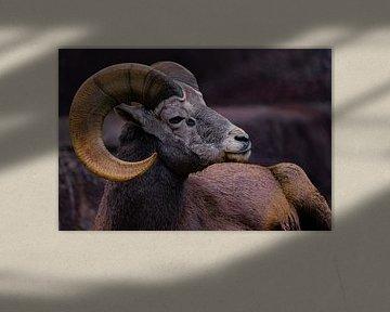 Dickhornschaf - Mufflon von bryan van willigen
