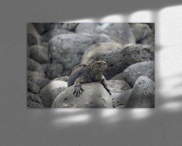 Meer Guanuan auf Felsen von Hanneke Bantje