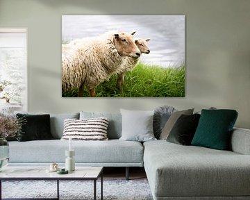 Portret van twee Hollandse schapen, fotoprint van Manja Herrebrugh - Outdoor by Manja