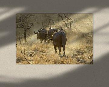 Buffels bij zonsondergang, Krugerpark, Zuid Afrika van Discover Dutch Nature