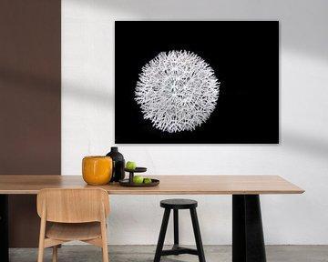 Welt der Kontraste (Läuseknolle von Löwenzahn in schwarz-weiß) von Caroline Lichthart